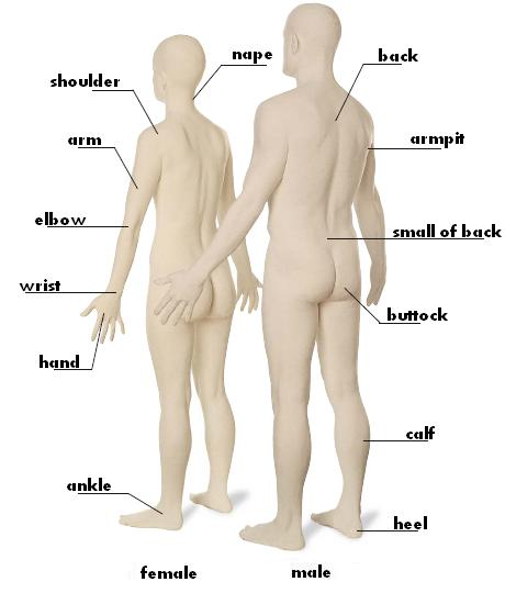 Human Body : leg, shoulder, arm, elbow, wrist, hand, ankle, nape, back, armpit, small of back, buttock, calf, heel