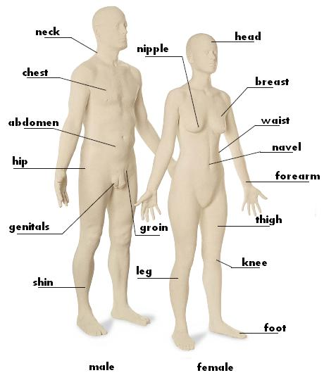 Human Body : neck, chest, abdomen, hip, genitals, shin, breast, nipple, head, waist, navel, forearm, thigh, knee, groin, foot